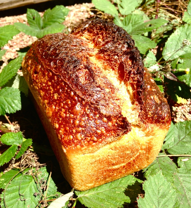 WONDER BREAD every once in a while a loaf goes missing... til we walk out into the backyard and find it sunning itself in the bushes. silly wonder bread, you're so sneaky.